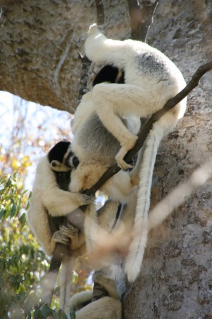 Subordinate adult male sifaka grooms new baby while juvenile female sifaka grooms the mother.