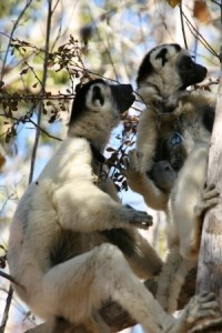 The sifaka male communicates submission with a chatter vocalization after receiving aggression from the adult female.