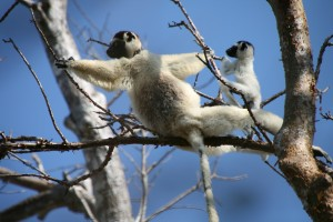 Sifaka female and her baby.