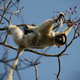 Sifaka mother and baby feeding on new leaves.