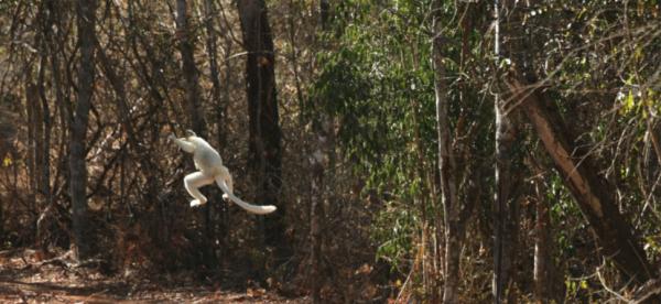 Sifaka leaping across the Ankoatsifaka Research Station driveway.
