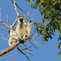 Stained male sifaka: the dominant morph.