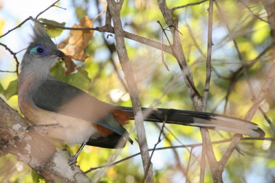 Crested coua, photo credit: Rebecca Lewis