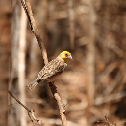 Sakalava weaver (Ploceus sakalava), photo credit: Rebecca Lewis